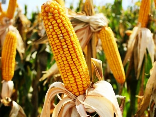 bt corn issues in the philippines Genetically-modified bt corn was due to be tested for the first time on philippine soil in june 1999 the country's national committee on biosafety had approved the 30-day public notice for testing its efficacy against the corn borer.